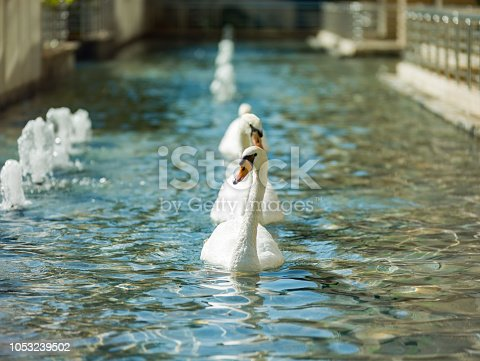 White swans swimming in pool - water scene from palace pool