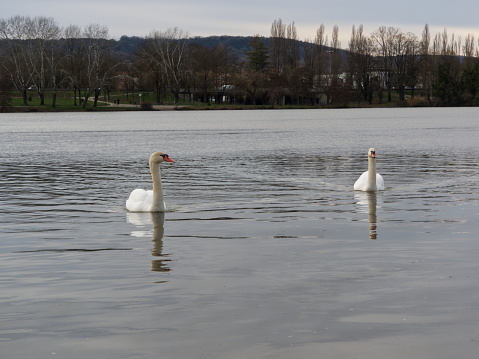 White swans swimming on the Moselle in France