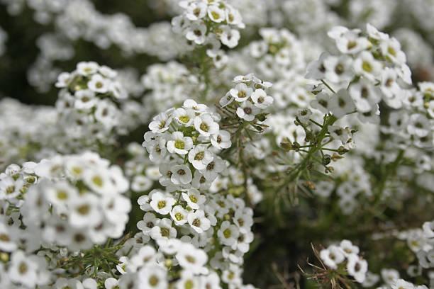White Sweet Alice Alyssum Flowers Lobularia Maritima stock photo