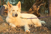 White Swiss Shepherd Dog. Berger Blanc Suisse ddog with eyes closed rests lying in the autumn forest in the sunset. White german shepherd in the summer wood.