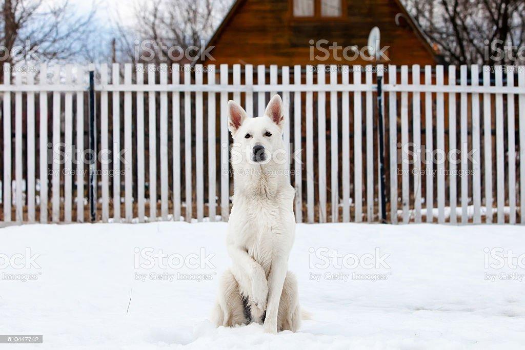 White Swiss shepherd dog in winter - Photo de Amitié libre de droits
