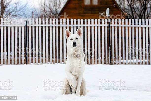 Photo libre de droit de White Swiss Shepherd Dog In Winter banque d'images et plus d'images libres de droit de Amitié