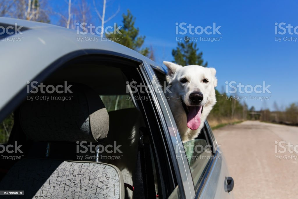 White Swiss shepherd dog looking out of car window stock photo