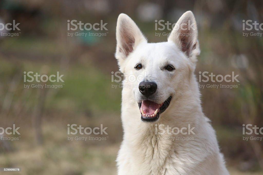 White Swiss shepherd dog stock photo