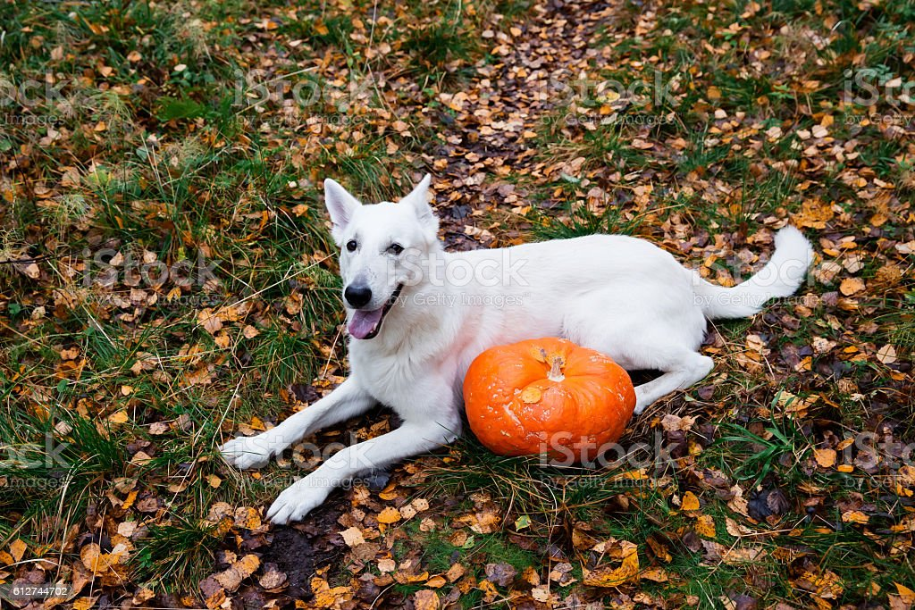White Swiss Shepherd dog with a pumpkin in autumn stock photo