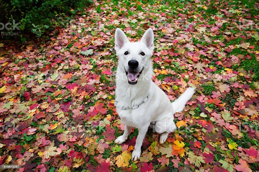White Swiss Shepherd in autumn stock photo