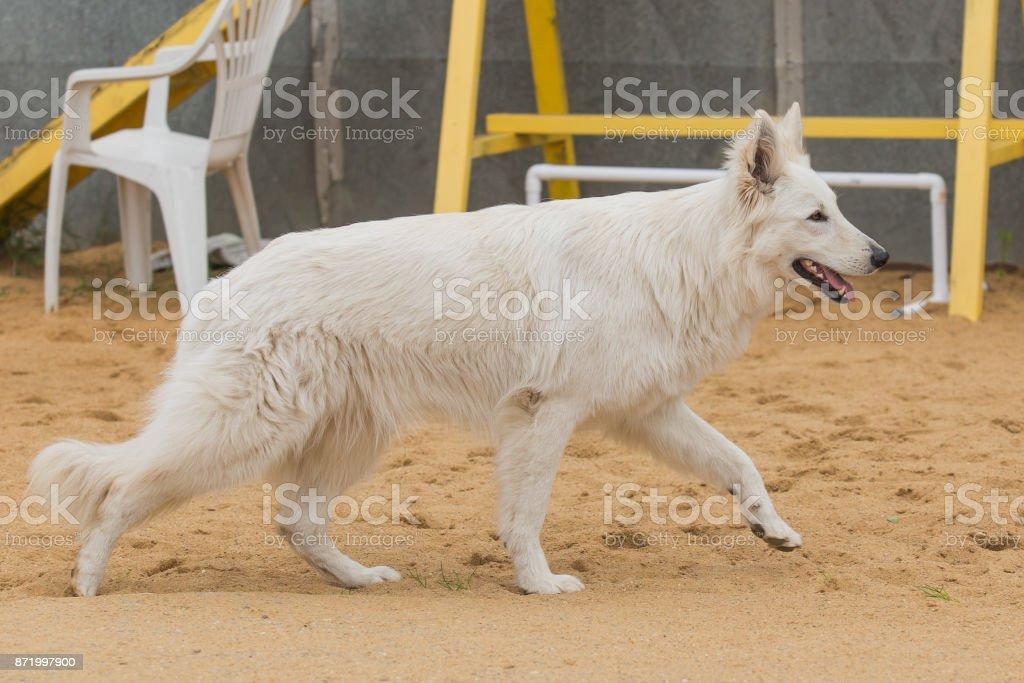 White Swiss shepherd stock photo