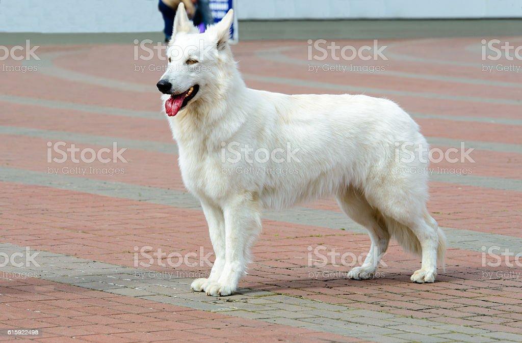 White Swiss Shepherd profile. stock photo