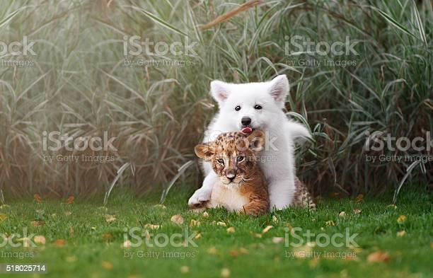 White swiss shepherds puppy and lion cub picture id518025714?b=1&k=6&m=518025714&s=612x612&h=zb hmr yi8x3wzrieylpynhig4lm loadxyy157jvpo=