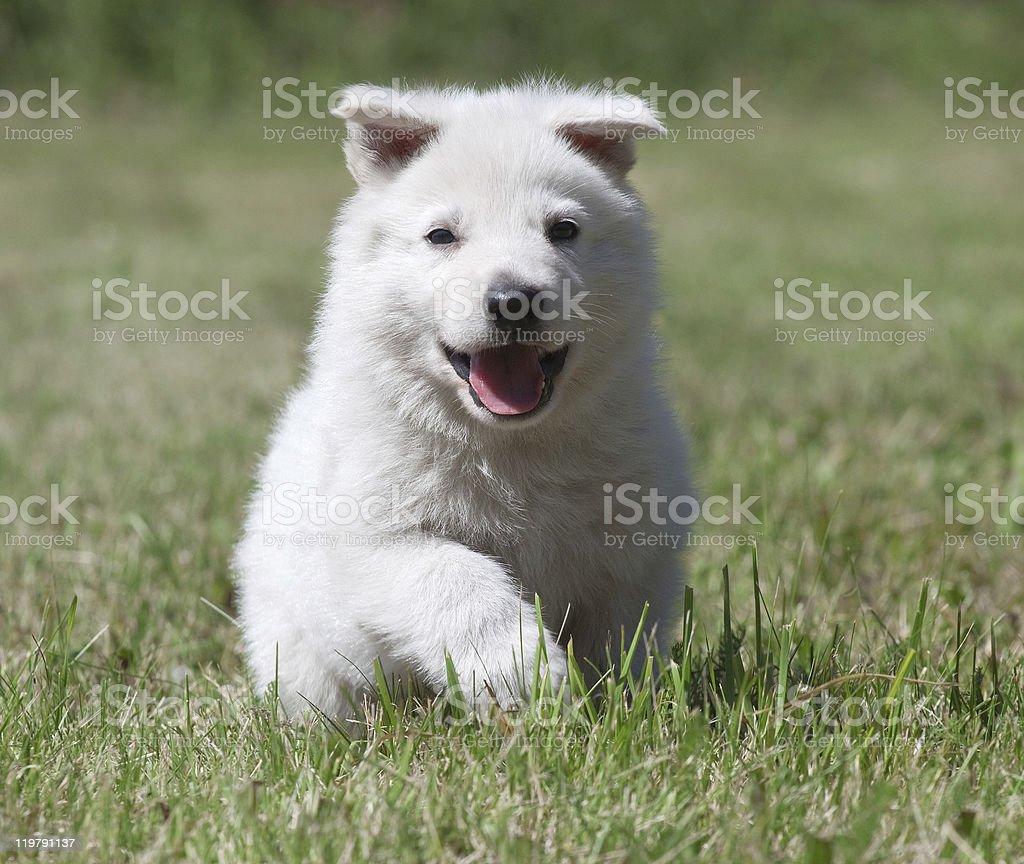 White Swiss Shepherd`s puppy stock photo