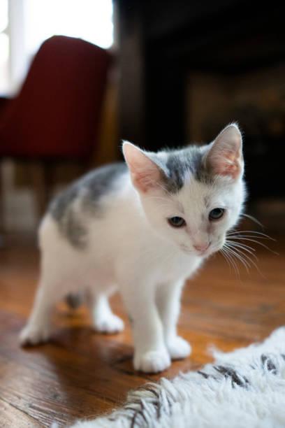 Weiße stabby Kätzchen mit Unfug Aussehen – Foto