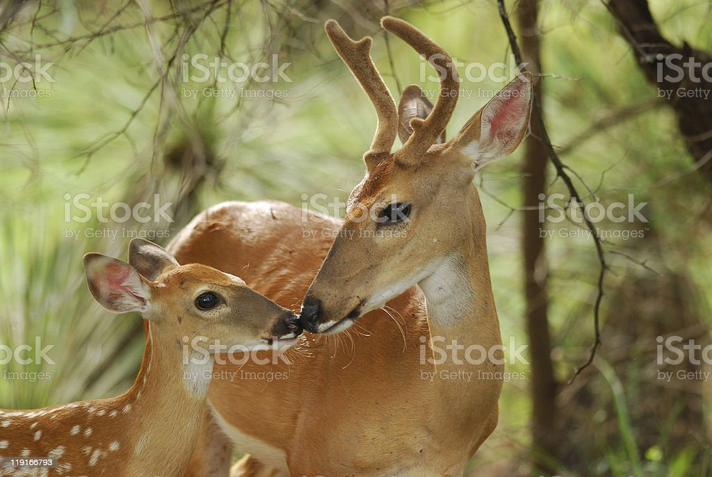 White Tail Buck and Fawn stock photo