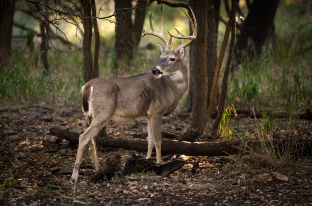white tail buck in field adult male whitetail deer vigilantly on guard even while feeding or rutting rutting stock pictures, royalty-free photos & images