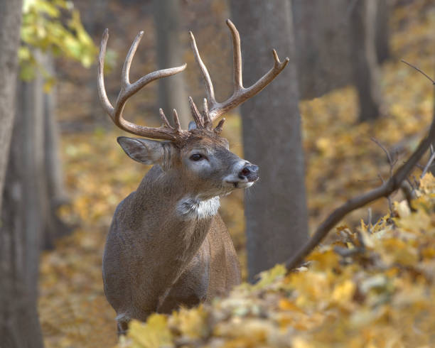 White tail buck Buck in fall colours during rut stag stock pictures, royalty-free photos & images