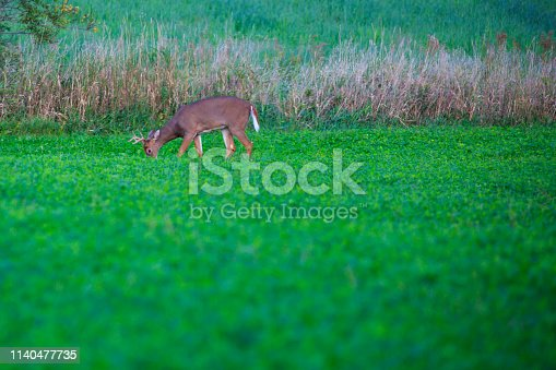White tail deer (odocoileus virginianus) adult male eating in a Wisconsin soybean field in September