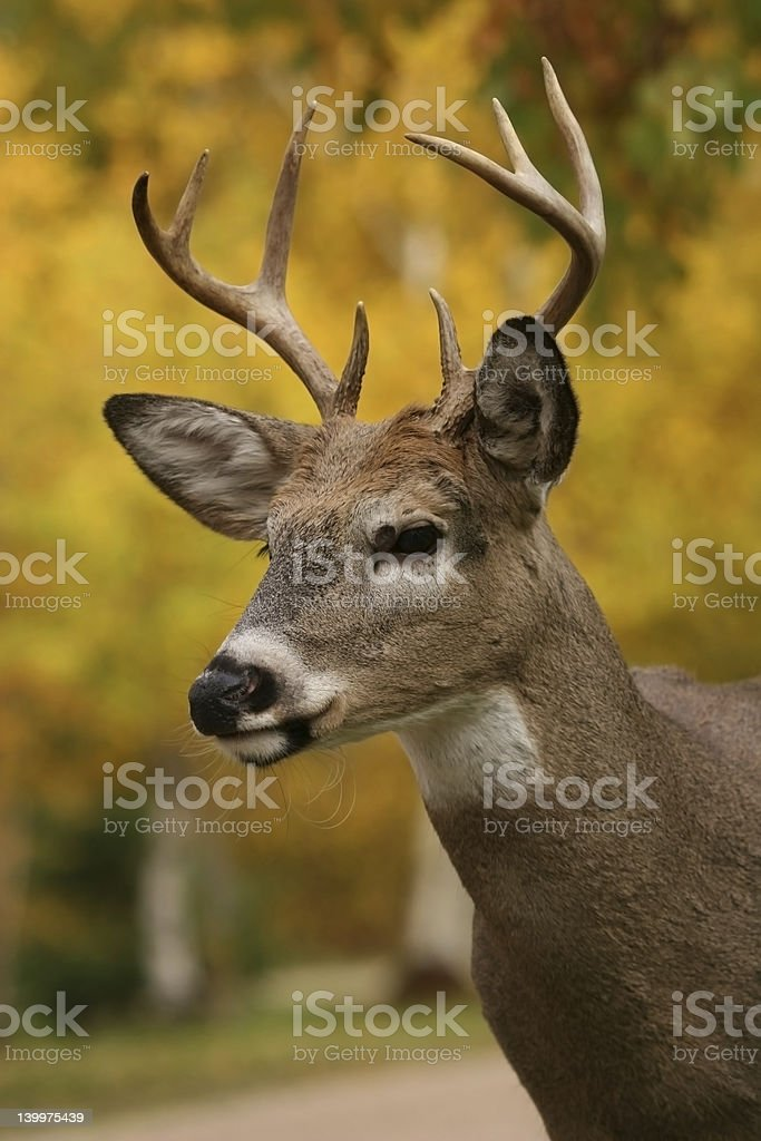 White Tail Deer Buck stock photo
