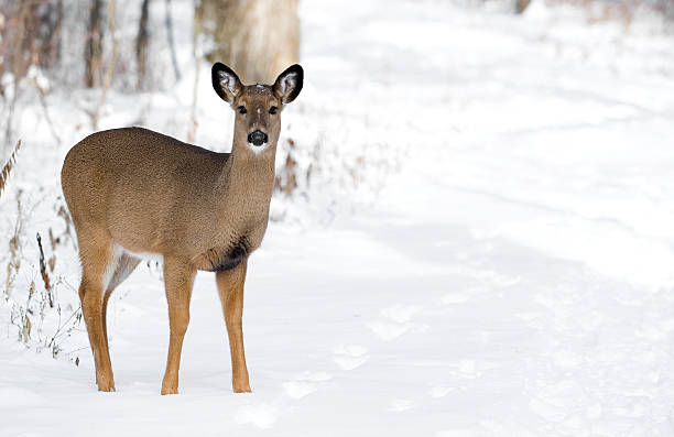 White Tail Deer Copy Space stock photo