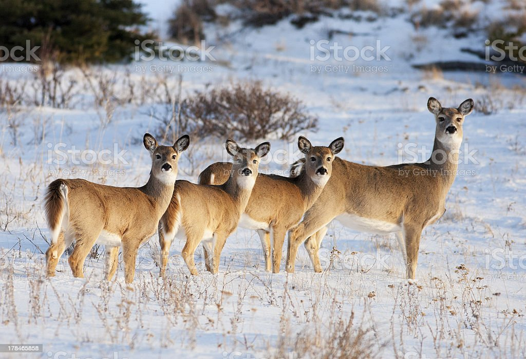 White Tail Deer Family stock photo
