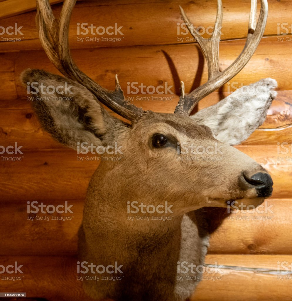 White Tail Deer Head Taxidermy In Cabin Stock Photo Download Image Now Istock