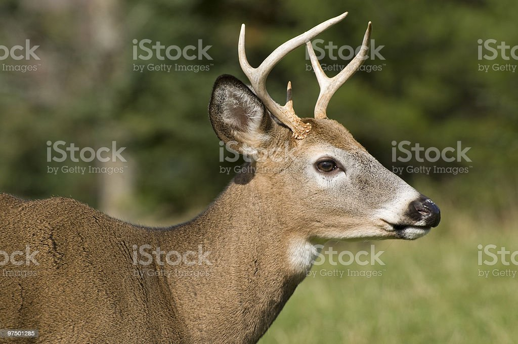 White tail deer profile royalty-free stock photo