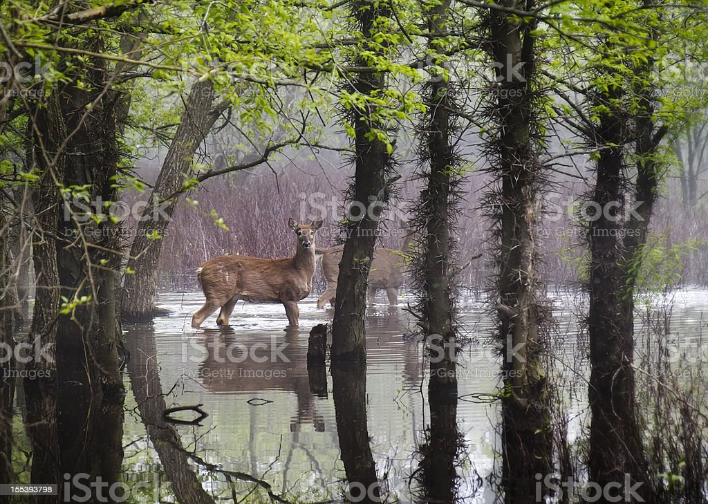 White Tail Deer Wander Carefully Through Harsh Flooding Conditions royalty-free stock photo