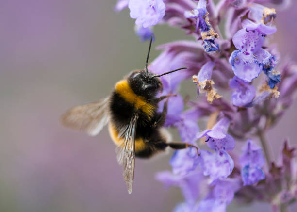 white tailed bumble bee - bumblebee stock pictures, royalty-free photos & images