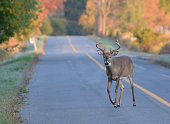 Close up of a White Tail Deer buck with full antlers crossing a country road