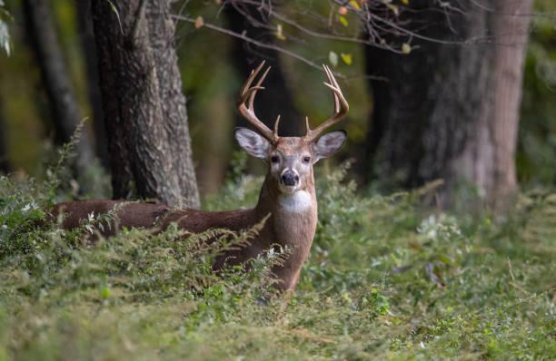 vit tailed rådjur buck - rovdjur bildbanksfoton och bilder