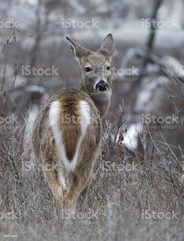 White Tailed Deer Doe royalty-free stock photo