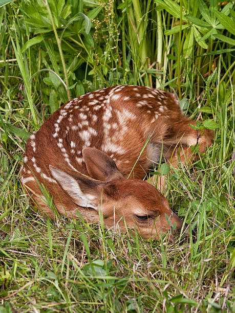 White tailed deer fawn curled up asleep in the grass stock photo