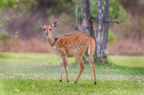 White Tailed Deer Fawn in Zambia stock photo