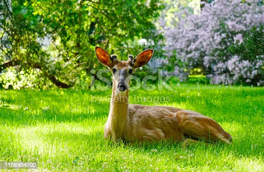 White tailed deer male spotted in midtown Toronto, Ontario, Canada