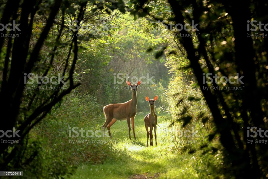 White tailed deer  (Odocoileus virginianus) royalty-free stock photo