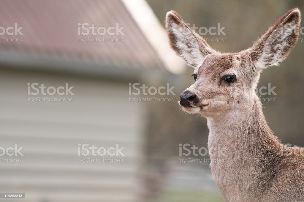 White Tailed Deer royalty-free stock photo