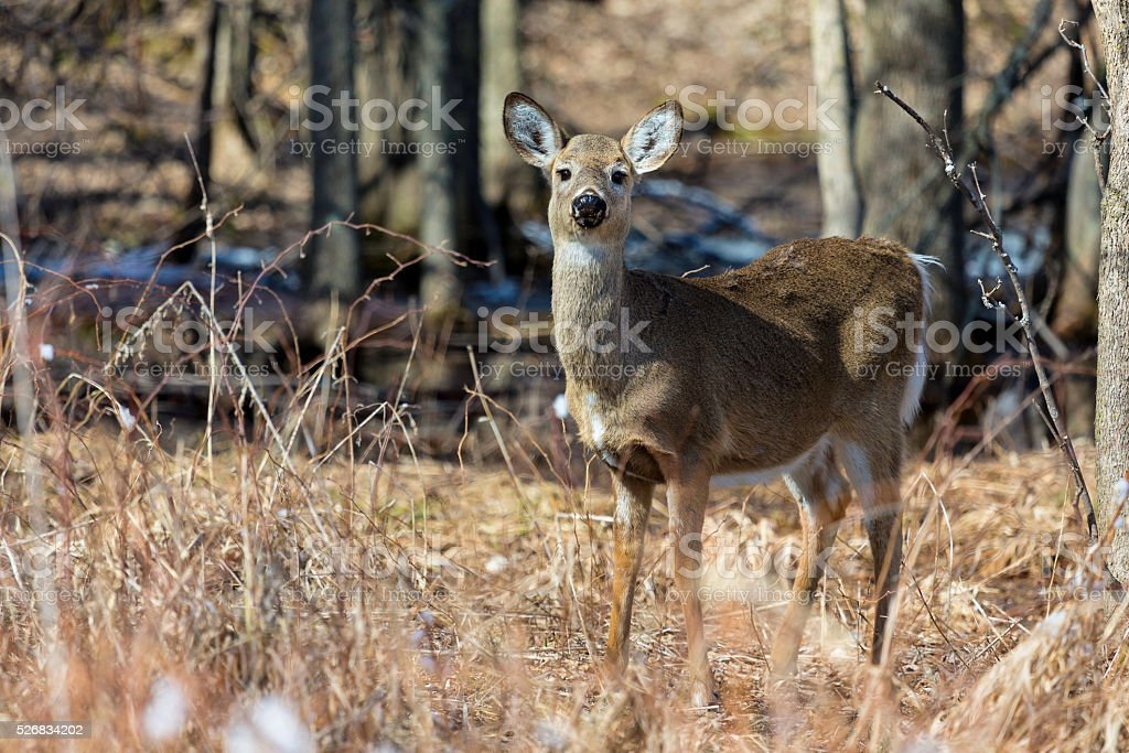 White Tailed Deer. stock photo