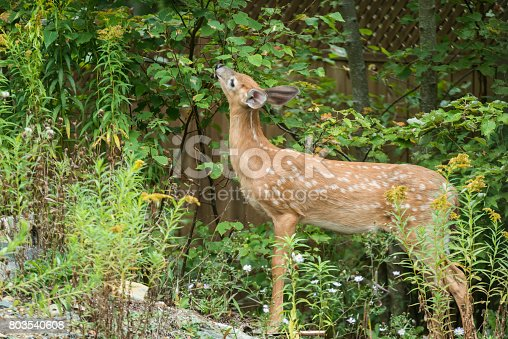 White tailed deer in a suburban backyard.