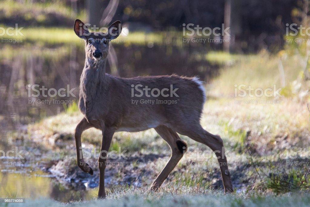 witte staart herten - Royalty-free Afbeelding Stockfoto