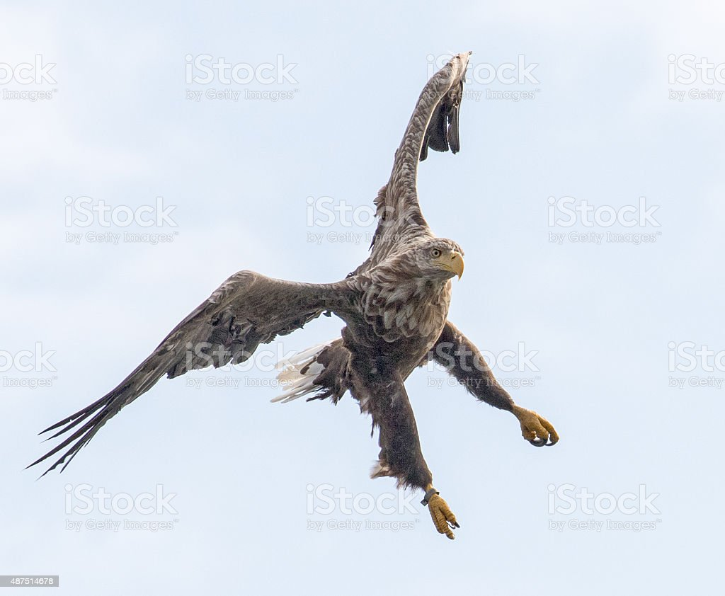 White Tailed Eagle in Flight stock photo