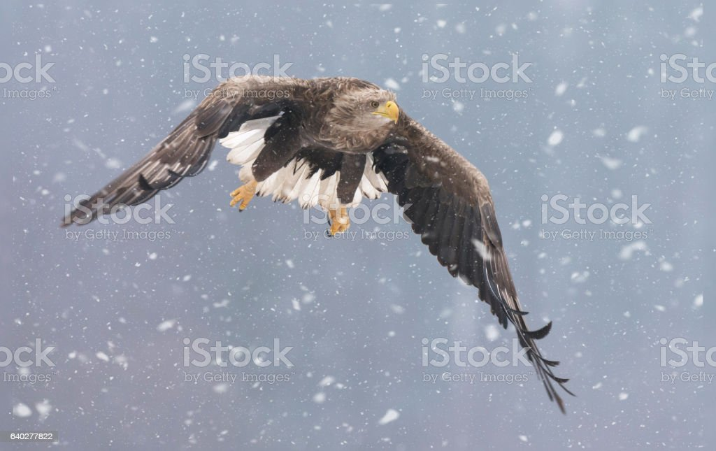 White tailed eagle (Haliaeetus albicilla) in winter scenery stock photo