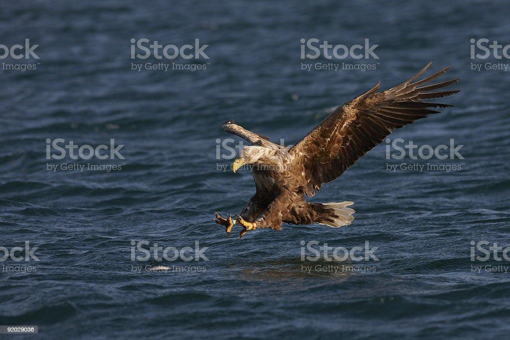 White tailed eagle or Sea Eagle, Haliaeetus Albicilla stock photo