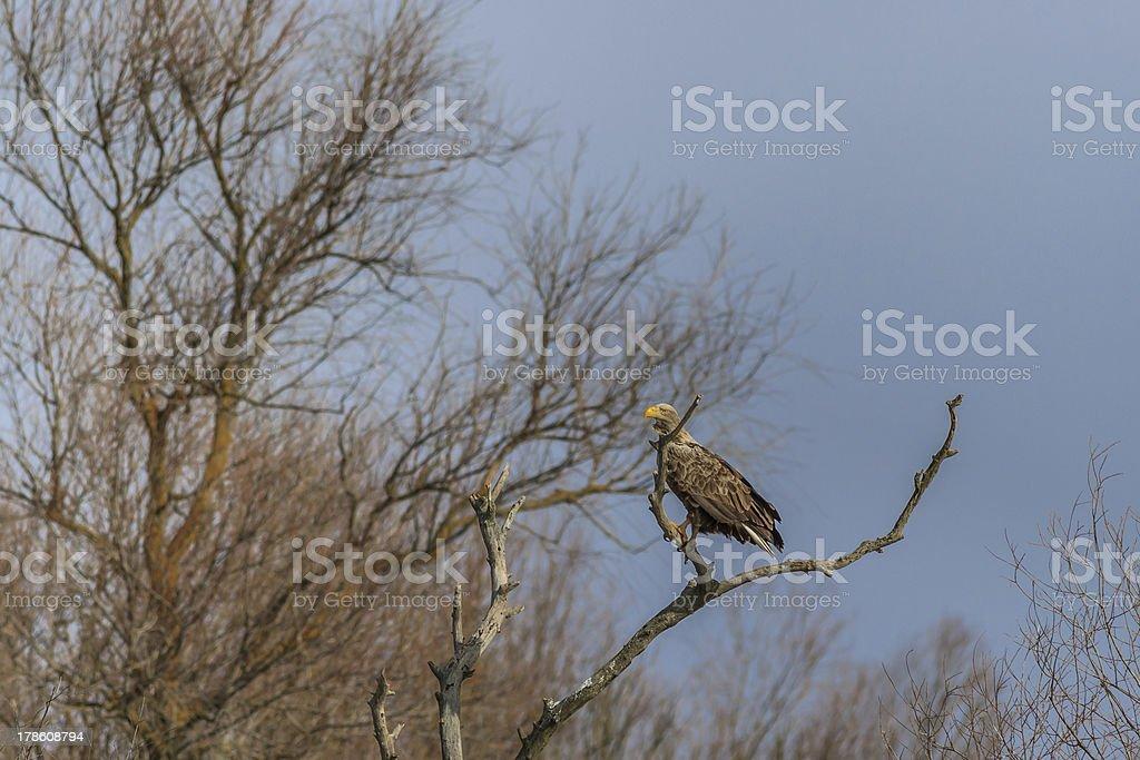 white tailed eagle royalty-free stock photo