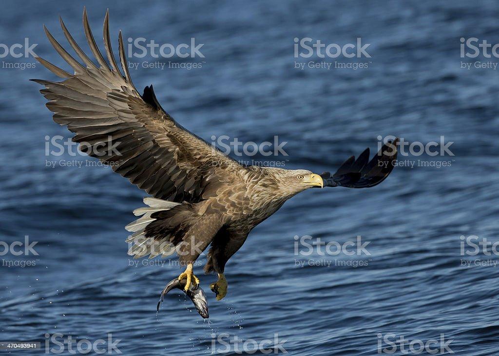 White tailed Eagle (Haliaeetus albicilla) stock photo