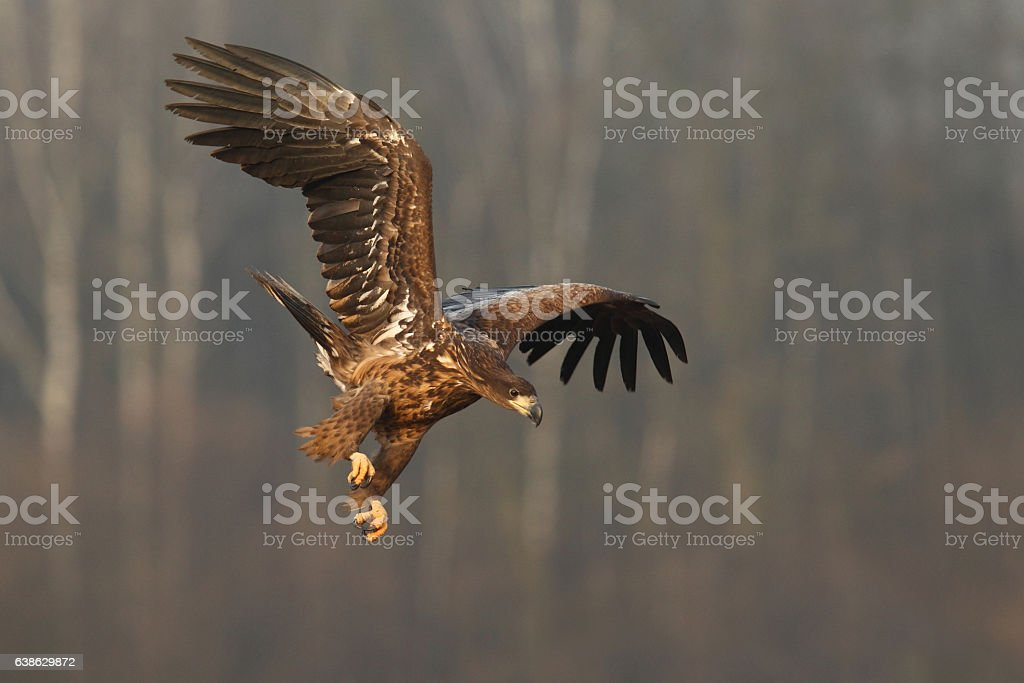 White tailed eagle stock photo