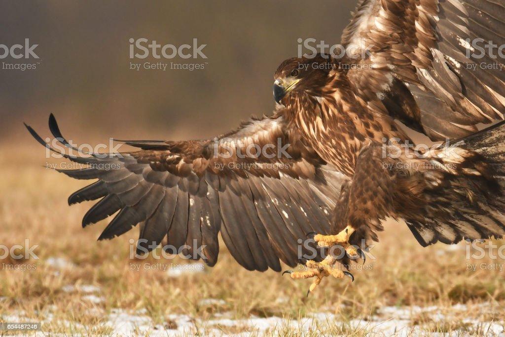 White tailed eagle stock photo
