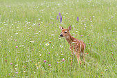 Adorable little spotted fawn looking back in a meadow of wildflowers