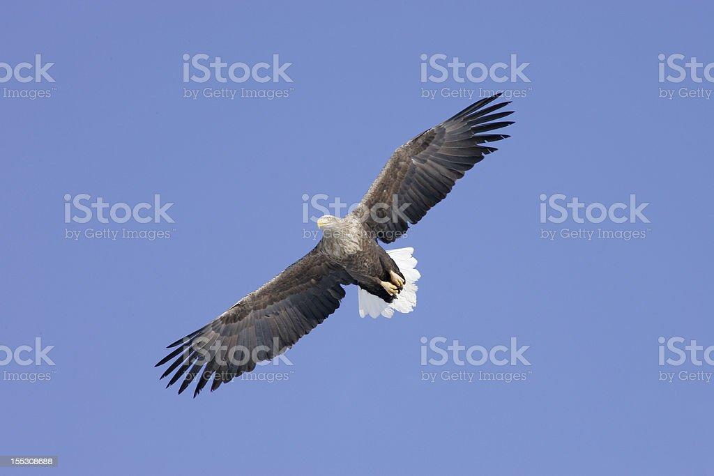 White tailed Sea Eagle stock photo