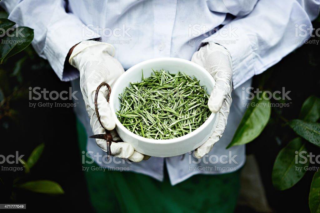 White tea picker royalty-free stock photo