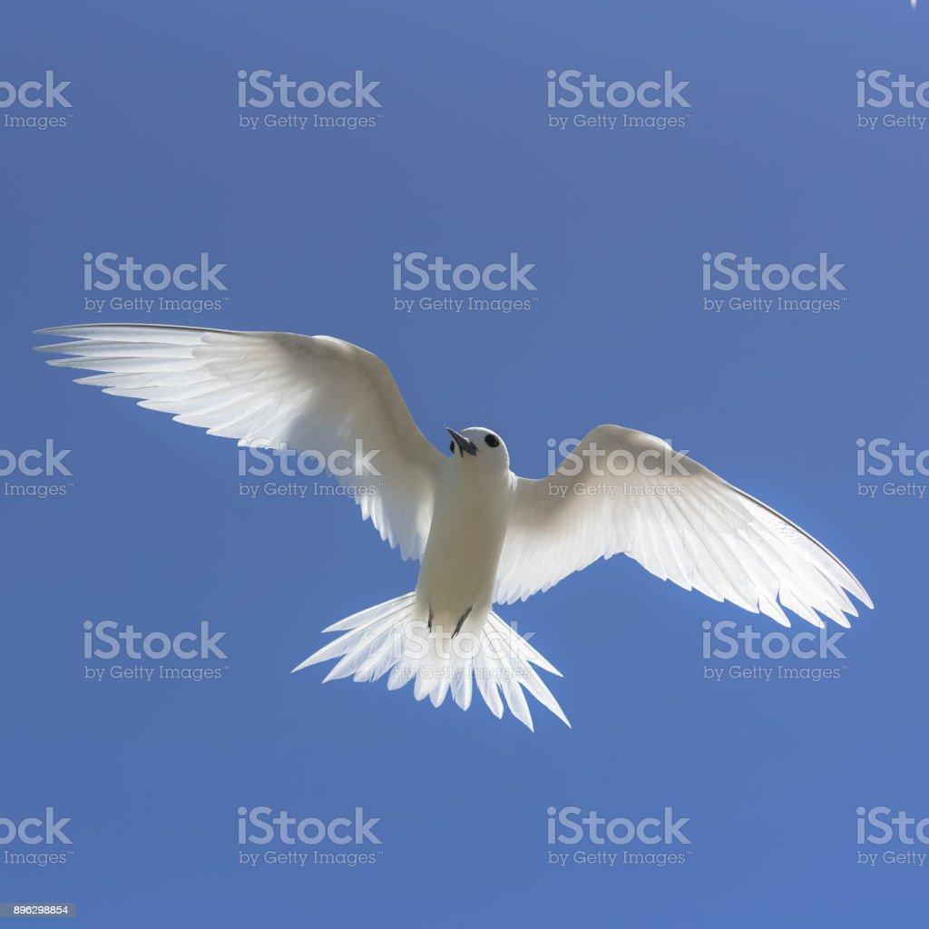 White tern, beautiful white bird stock photo