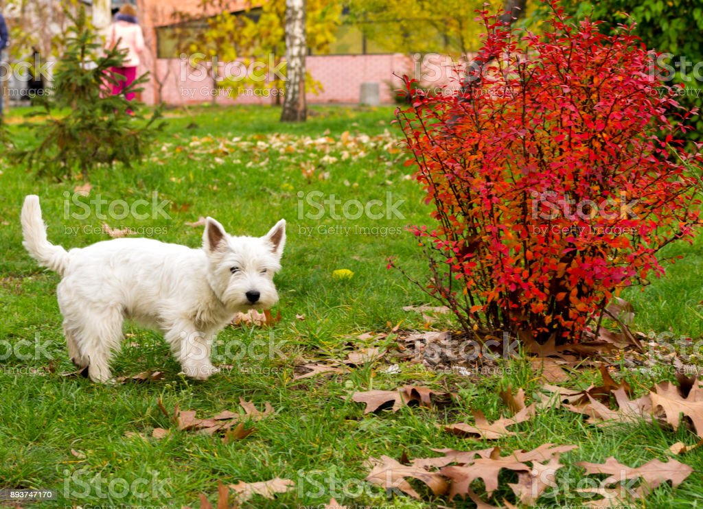 A white terrier walks through the park. A homely white terrier. stock photo