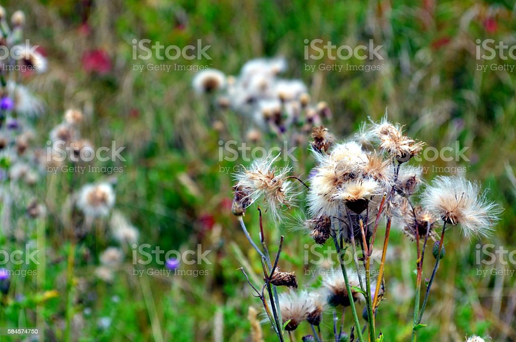 White thistle flowers on a meadow in rhone alpes france stock photo white thistle flowers on a meadow in rhone alpes france royalty free stock photo mightylinksfo
